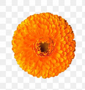 Orange Marigold - Calendula Officinalis Mexican Marigold Orange Flower PNG