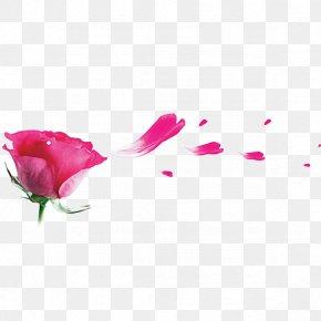 Rose Petal - Garden Roses Beach Rose Pink Petal PNG