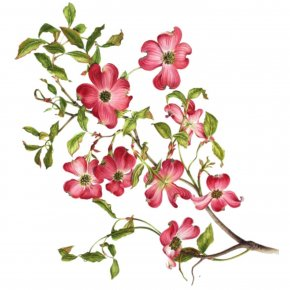 Flowering Branch Cliparts - Flowering Dogwood Virginia Drawing Clip Art PNG