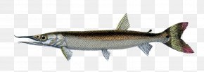 Fish - Sardine Fish European Sea Sturgeon Boulengerella Cuvieri Fresh Water PNG