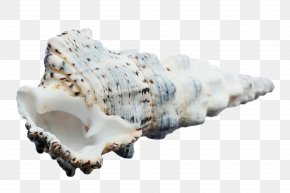 Big Conch - Seashell Mollusc Shell Sea Snail Conchology PNG