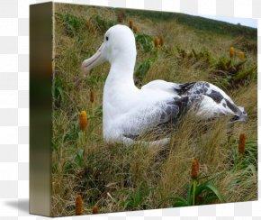 Albatross - Bird Duck Beak Albatross Laysan PNG