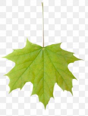 Leafs - Sugar Maple Maple Leaf Acer Macrophyllum Tree PNG
