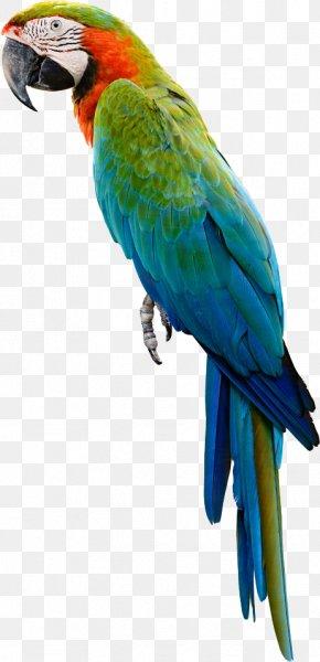 Parrot,Bako - Amazon Parrot Bird Cockatiel Budgerigar PNG