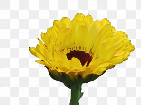 Chrysanths Daisy Family - Blossom Background PNG