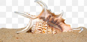 Shell Beach - Seashell Shell Beach Sand Mollusc Shell PNG