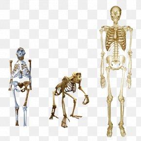 Skeleton - Chimpanzee Homo Sapiens Australopithecus Afarensis Human Skeleton Lucy PNG