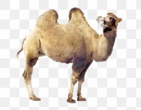 Bactrian Camel - Dromedary Bactrian Camel Stock Photography Royalty-free PNG