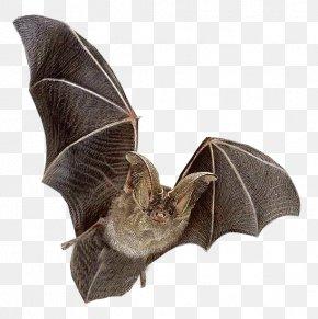 Clear Bat - Bat Flying Mammals Ni PNG