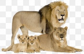 The Lion's Family - Felidae Cougar Cat Asiatic Lion Cheetah PNG