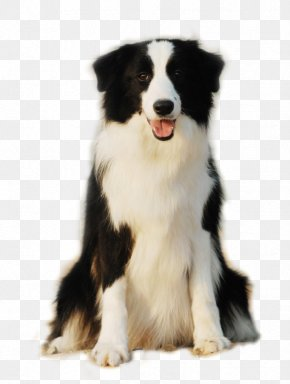 Cute Side Of The Dog Is Sitting Smiling Face - Border Collie Pomeranian Scotch Collie Rough Collie Puppy PNG