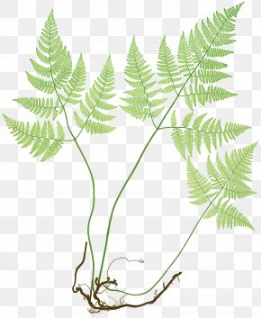 Painted Lady Plant - The Ferns Of Great Britain And Ireland Common Polypody Northern Oak Fern Elkhorn Fern PNG