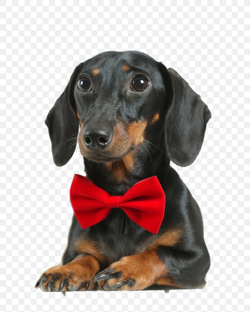 Border Collie German Shepherd Puppy Cat Kitten, PNG, 681x1024px, Border Collie, Austrian Black And Tan Hound, Ball, Black And Tan Coonhound, Carnivoran Download Free