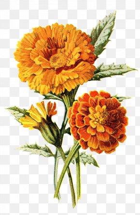 Marigold - Mexican Marigold Flower Calendula Officinalis Drawing Clip Art PNG