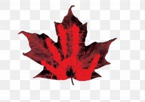 Maple Leaf - Canada Sugar Maple Norway Maple Maple Leaf PNG