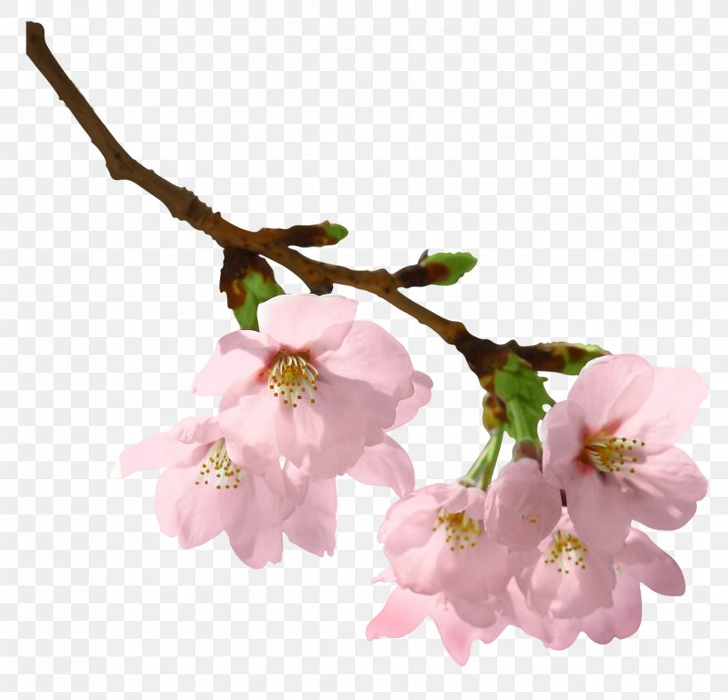 Branch Clip Art, PNG, 1755x1690px, Spring Branch, Blossom, Branch, Cherry Blossom, Flower Download Free