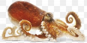 Octopus Image - Common Octopus Clip Art PNG
