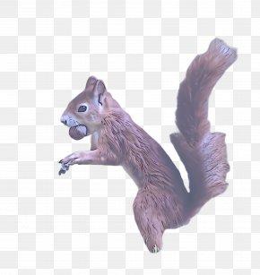 Eurasian Red Squirrel Tail - Squirrel Fox Squirrel Animal Figure Ground Squirrels Chipmunk PNG