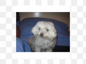 Puppy - Maltese Dog Bolognese Dog Havanese Dog Coton De Tulear Bichon Frise PNG