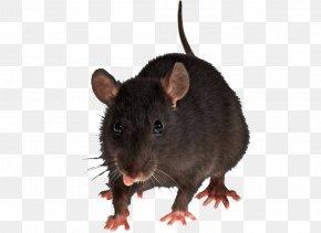 Mouse Rat Image - Brown Rat Mouse Black Rat Rodent Pest Control PNG