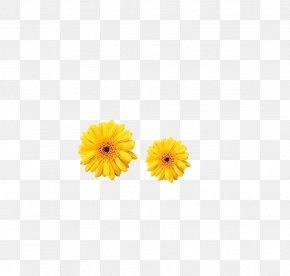 Chrysanthemum - Calendula Officinalis Transvaal Daisy Common Daisy Chrysanthemum Yellow PNG