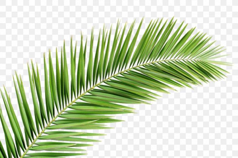 Arecaceae Palm Branch Leaf Tree Clip Art, PNG, 1267x845px, Arecaceae, Arecales, Borassus Flabellifer, Coconut, Elaeis Download Free
