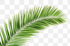 Palm Tree - Arecaceae Palm Branch Leaf Tree Clip Art PNG