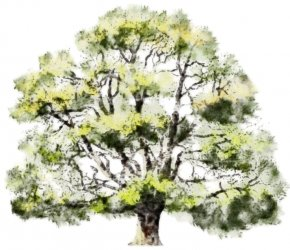 Watercolor Tree - Tree Watercolor Painting Oak Drawing PNG