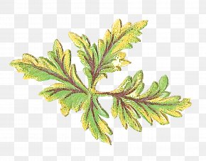 Vascular Plant American Larch - Leaf Plant Flower Tree Flowering Plant PNG