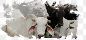 Goat - Dairy Cattle Domestic Pig Animal Slaughter Goat PNG