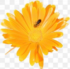 Fora - Mexican Marigold Flower Calendula Officinalis Clip Art PNG
