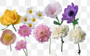 Daisy Flower Flowers - Carnation Peony Cut Flowers Herbaceous Plant Annual Plant PNG