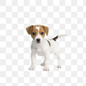 Dog Vector - Jack Russell Terrier Puppy Pet Sitting Cuteness PNG