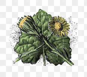 Botanical Flower Illustration - Wildflower Tussilago Plant Stem Botany PNG