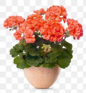 Flower - Geraniums Flowering Pot Plants Flowerpot PNG