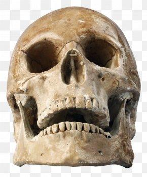 Skull - Skull Human Skeleton PNG
