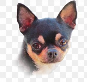 Puppy - Chihuahua Puppy Companion Dog Dog Breed Toy Dog PNG