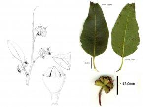 Eucalyptus - Eucalyptus Grandis Myrtaceae Insect Plant Bushfires In Australia PNG