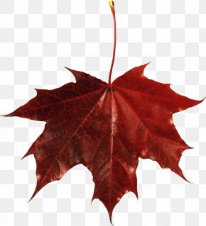 Autumn Leaf - Japanese Maple Autumn Leaf Color Maple Leaf PNG