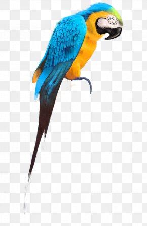Parrot - Parrot Budgerigar Bird Cockatiel Pet PNG