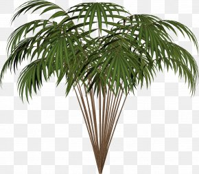 Big Ben - Arecaceae Asian Palmyra Palm Date Palm Houseplant Coconut PNG