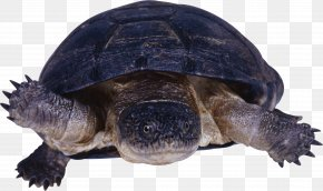 Turtle - Turtle Reptile PNG