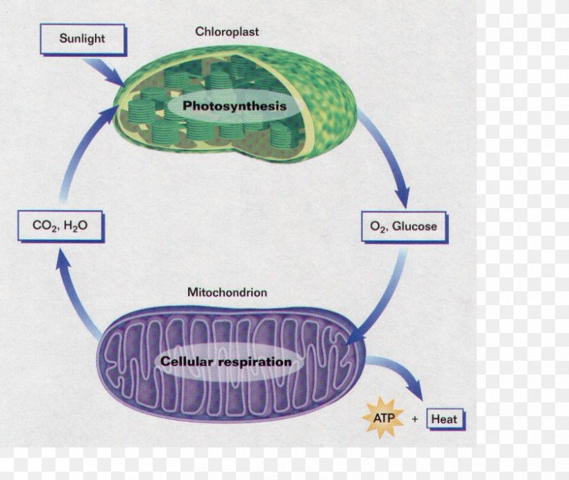Labeled Diagram Of Photosynthesis And Cellular Respiration