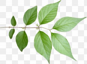 Plant - Fiddle-leaf Fig Plant Stem Tree PNG