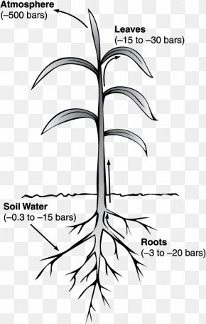 Water - Water Potential Pressure Xylem PNG