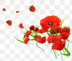 Floral Watercolor Flowers Vector Material - Remembrance Poppy Flower Common Poppy PNG