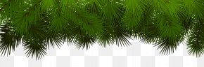 Pine Branches Decoration Transparent Clip Art - Asian Palmyra Palm Fir Spruce Pine Branch PNG