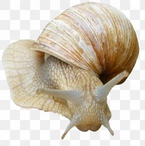 Snail - Snail Gastropods PNG