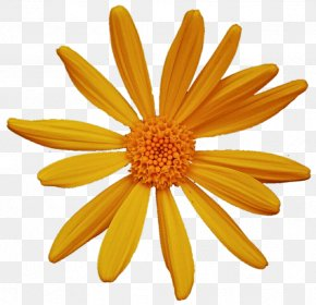 Chrysanthemum - Common Daisy Oxeye Daisy Argyranthemum Frutescens Chrysanthemum Petal PNG