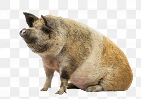 Wild Pig - Stock Photography Livestock PNG